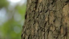 Fim do tronco de ?rvore acima, fim do tronco do bordo acima, fim textured da casca de ?rvore acima filme