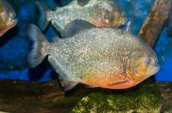 Fim do underwater dos peixes da piranha acima do retrato imagens de stock