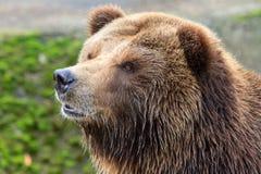 Fim do urso pardo do continente acima Imagens de Stock