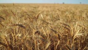 Fim do wery do trigo e brilhante video estoque