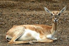 Fim dos animais selvagens dos cervos acima fotografia de stock royalty free
