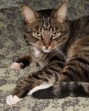 Fim engraçado bonito do gato acima, gato doméstico, gato de relaxamento Imagens de Stock Royalty Free