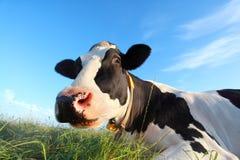 Fim engraçado da cabeça da vaca acima Imagens de Stock
