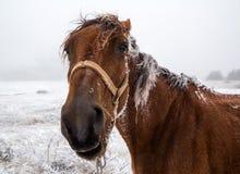 Fim engraçado do focinho do ` s do cavalo acima, olhando surpreendido na lente Fotografia de Stock Royalty Free