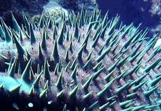Fim estranho do sumário acima da coroa de peixes da estrela dos espinhos fotografia de stock royalty free