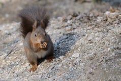 Fim europeu do esquilo vermelho acima do retrato Fotos de Stock Royalty Free