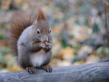 Fim europeu do esquilo vermelho acima do retrato Fotografia de Stock Royalty Free