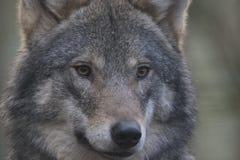 Fim europeu do lobo de madeira acima do retrato em madeiras de pinho com fundo fotos de stock