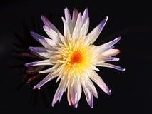 Fim exótico da flor de lótus acima Fotos de Stock