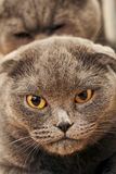 Fim fêmea do focinho do ` s do gato do puro-sangue acima ao acoplar-se Fotos de Stock Royalty Free