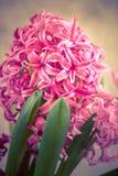 Fim fresco cor-de-rosa do jacinto acima Fotos de Stock Royalty Free