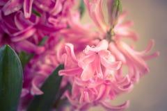 Fim fresco cor-de-rosa do jacinto acima Fotos de Stock