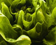 Fim frondoso orgânico verde da alface acima fotografia de stock royalty free
