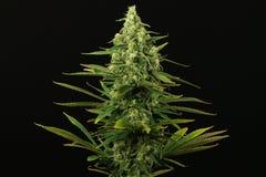 Fim ideal azul da planta de marijuana acima foto de stock royalty free