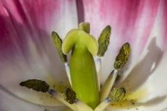 Fim impressionante acima dos pistilos verdes de uma tulipa cor-de-rosa com branco foto de stock royalty free