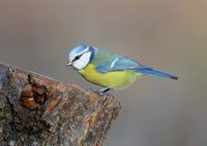 Fim incomum do acréscimo acima do retrato do melharuco azul na luz morna da manhã Imagens de Stock Royalty Free