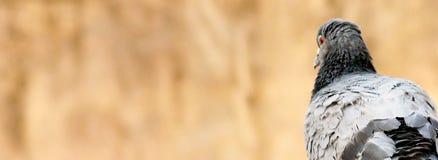 Fim indiano apenas cinzento do pombo acima foto de stock royalty free