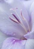 Fim lilás da flor do lírio acima Imagem de Stock