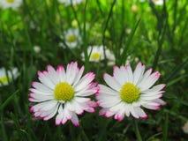 Fim lindo & brilhante acima de Daisy Flowers Blossom In Springtime comum branca & cor-de-rosa 2019 fotos de stock royalty free