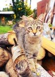 Fim listrado cinzento do gatinho acima do retrato exterior Fotos de Stock