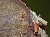 Fim macro acima dos otários do sangue do ácaro de veludo na folha, foto recolhida o Reino Unido imagem de stock