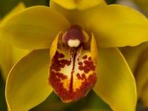 Fim macro do tiro da orquídea amarela e vermelha acima Fotos de Stock Royalty Free