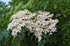 Fim mais velho do conjunto de flores acima fotografia de stock royalty free