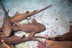 Fim marrom bonito do tubarão acima no aquário foto de stock royalty free