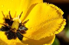 Fim molhado amarelo da tulipa acima da serra da folha Foto de Stock Royalty Free
