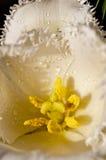 Fim molhado amarelo da tulipa acima da serra da folha Fotografia de Stock Royalty Free