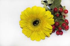 Fim muito consideravelmente amarelo do gerber acima Foto de Stock