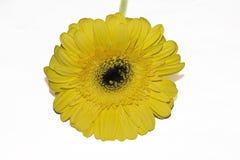 Fim muito consideravelmente amarelo do gerber acima em minha sala Fotos de Stock