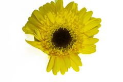 Fim muito consideravelmente amarelo do gerber acima em minha sala Imagens de Stock