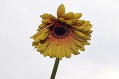 Fim muito consideravelmente amarelo do gerber acima na luz do sol Foto de Stock