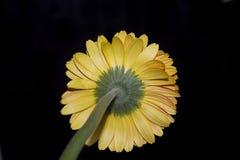 Fim muito consideravelmente amarelo do gerber acima na luz do sol Imagem de Stock