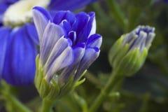 Fim muito consideravelmente azul da flor da mola acima em meu jardim Imagens de Stock