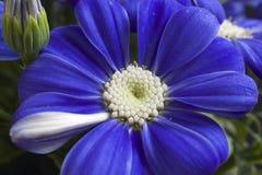 Fim muito consideravelmente azul da flor da mola acima em meu jardim Fotografia de Stock