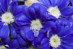 Fim muito consideravelmente azul da flor da mola acima em meu jardim Imagens de Stock Royalty Free