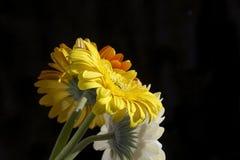 Fim muito consideravelmente branco, amarelo e alaranjado do gerber acima na luz do sol Foto de Stock