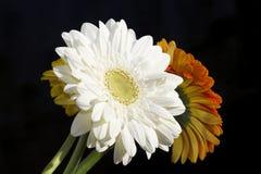 Fim muito consideravelmente branco, amarelo e alaranjado do gerber acima na luz do sol Imagens de Stock