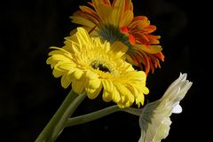 Fim muito consideravelmente branco, amarelo e alaranjado do gerber acima na luz do sol Imagens de Stock Royalty Free