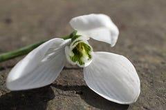 Fim muito consideravelmente branco da flor da mola acima em meu jardim Imagem de Stock