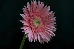 Fim muito consideravelmente cor-de-rosa do gerber acima Imagem de Stock Royalty Free