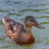 Fim nadador do pato selvagem acima imagens de stock royalty free