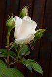 Fim natural da flor da rosa do branco acima no arbusto verde Fotografia de Stock