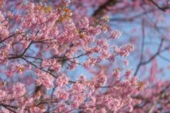 Fim obscuro de Blackground acima do ramo da flor de cerejeira cor-de-rosa Fotos de Stock
