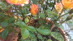 Fim Peachy da rosa do pátio acima Imagem de Stock Royalty Free