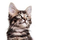 Fim peludo bonito do gatinho acima Fotos de Stock Royalty Free