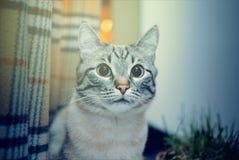 Fim pensativo tímido bonito do gato acima, de cabelo liso fotografia de stock
