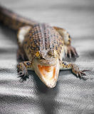 Fim pequeno do crocodilo acima Imagem de Stock Royalty Free